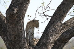 Leopard. An elusive leopard sitting in the comfort of a forked branch in a large tree in the Kruger National Park royalty free stock images