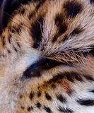 Leopard eye. Close up view of a leopard's eye Stock Photo