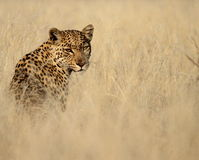 Leopard with eye contact isolated against tall grass Royalty Free Stock Images