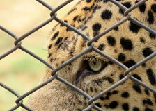Leopard Eye  - Panthera Pardus. Eye of a leopard through the cage at Chattbir Zoo Chandigarh India Royalty Free Stock Photo