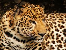 Leopard face Royalty Free Stock Images