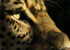 Leopard Face. Side on image of a leopards face looking away from the camera Royalty Free Stock Image