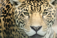 Leopard eyes Royalty Free Stock Photos