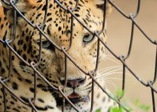 Leopard face closeup staring Royalty Free Stock Image