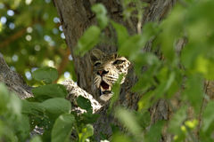 Leopard Tree View. Leopards are a threatened species due to habitat loss Royalty Free Stock Photo