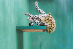 Leopard Falling from the Shelf. Young Amur leopard accidentally clumsily falls from the shelf Stock Photo