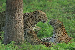 Leopard Family. Stock Photography