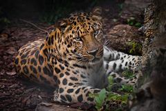 Free Leopard Far Eastern Leopard Imposingly Lies In The Twilight On The Ground And Looks At You, A Beautiful Predatory Cat On Stock Photos - 158233513