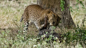 A Leopard feasting. This Leopard believed to be the biggest in Yala was feasting on a wild Boar Royalty Free Stock Photos