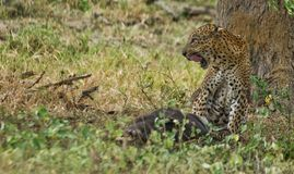 A Leopard feasting. This Leopard believed to be the biggest in Yala was feasting on a wild Boar Stock Photo