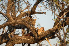 Leopard feeding on impala Stock Image