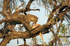 Leopard feeding on impala Stock Photos
