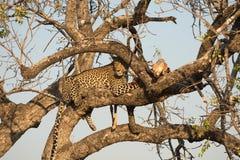 Leopard feeding on impala Royalty Free Stock Photos