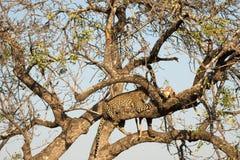 Leopard feeding on impala Royalty Free Stock Image