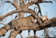 Leopard feeding on impala Royalty Free Stock Photo