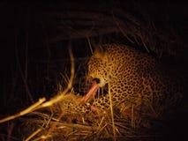 Leopard feeding Royalty Free Stock Photos