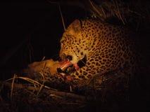 Leopard feeding Stock Image