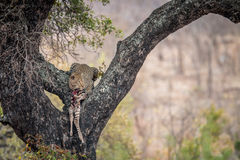 Leopard feeding on a zebra in a tree. Stock Images