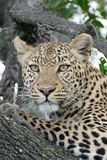 A close up of a Female leopard looking out from a tree perch Royalty Free Stock Photos