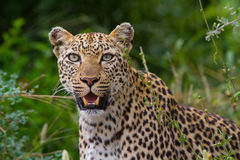 Leopard female close up. A close up of a leopard female in lush vegetation Royalty Free Stock Photo