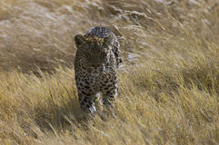 Leopard 3. Female Leopard on the move ,Savuti , Botswana Stock Image