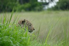 Profile of a Female leopard stalking in grass with raindrops on the leaves. Female leopard in wet grass Botswana profile cat big Stock Photo