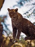 Leopard in fevertree. Ngorongoro crater, Tanzania Stock Photos