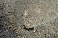 Leopard flounder. (Bothus pantherinus) on sandy bottom Royalty Free Stock Photo