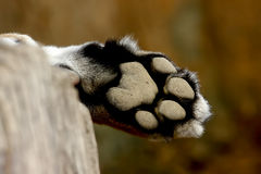 Leopard Foot Panther Panthera pardus Stock Images