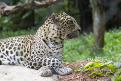 Leopard in forest Royalty Free Stock Photography