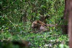 Leopard on forest floor Royalty Free Stock Photos
