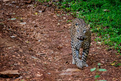 Leopard on forest road Royalty Free Stock Photo