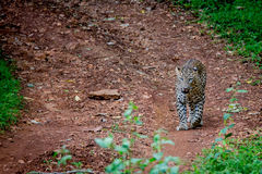 Leopard on a forest road Stock Images