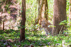Leopard in forest Stock Photography