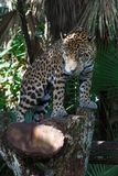 Leopard in the forests. Of Belize stock photography