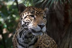 Leopard in the forests. Of Belize stock image