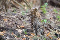 Leopard in foreststalking Stock Photos