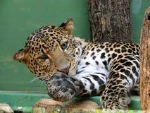 Leopard från den Prague zoo Royaltyfria Bilder
