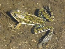 Leopard frog 1 Royalty Free Stock Photography