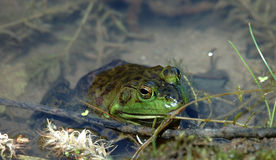 Leopard Frog. A leopard frog sits in a pond royalty free stock photos