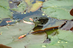 Leopard Frog. A leopard frog sits in a pond Stock Images