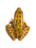 Leopard Frog. Photograph of a Leopard Frog isolated against a white background Royalty Free Stock Photography