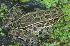 Leopard Frog. Sitting in a swamp royalty free stock photos