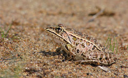 Leopard Frog Royalty Free Stock Photos