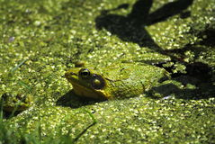 Leopard Frog. In an algae covered pond Stock Photos