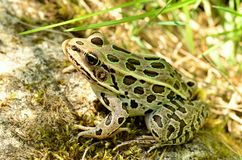 Leopard Frog royalty free stock images