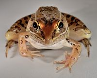 Free Leopard Frog Royalty Free Stock Photos - 44493898