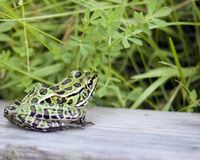 Leopard Frog Stock Images