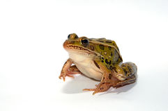 Leopard Frog. Photograph of a Leopard Frog isolated on-white Royalty Free Stock Photos