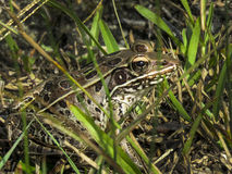 Leopard Frog Close Up. A Leopard Frog freezes its movement hoping camoflauge will keep it safe in the grass near St. Andrews East Bay, Florida as the sun sets Stock Images